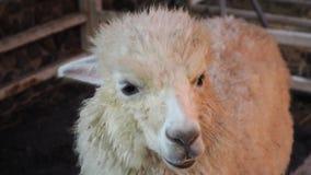 Roligt alpacaleende och tänder aloud royaltyfri foto