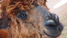 Roligt alpacaleende och tänder aloud fotografering för bildbyråer