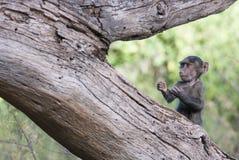 Roligt behandla som ett barn apan i en boxer& x27; s poserar på ett träd Arkivfoto