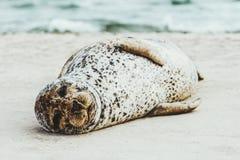 Roligt djur för hamnskyddsremsa som sover på den sandiga stranden Royaltyfria Bilder