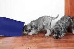 Roligt foto av d?liga stygga schnauzervalpar Hundkappl?pningen ?ppnade en p?se av den torra st?lden f?r hundmat och ?tapartiklar royaltyfri bild