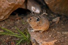 Roligt foto för Montana jackomus Arkivfoton