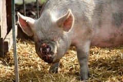 Roligt fult svin Arkivbild