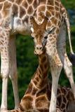 roligt giraffbarn för uttryck Royaltyfri Bild