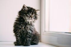 Roligt Gray Small Domestic Cat Kitten sammanträde på ett vitt fönster Arkivbild