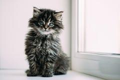 Roligt Gray Small Domestic Cat Kitten sammanträde på ett vitt fönster Arkivfoto