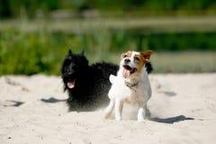 Roligt gulligt spela för hundkapplöpning arkivbild