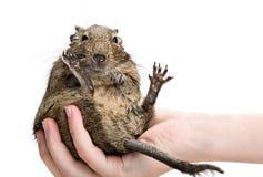 Roligt hamstersammanträde på den mänskliga handen Royaltyfria Foton