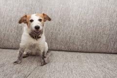 Roligt hundofog för stående Den smutsiga stålar russell som spelar på soffamöblemang med lerigt, tafsar och det lyckliga uttryckt royaltyfria foton