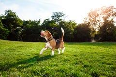 Roligt lyckligt gå för beaglehund som in spelar, parkerar Arkivbild