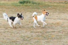 Roligt lyckligt rinnande för Chihuahua utomhus Arkivfoto