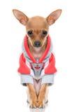 roligt omslag för hund little Fotografering för Bildbyråer