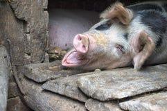 Roligt rosa svin i stallen arkivbilder
