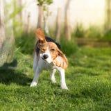 Roligt skaka för beaglehund Arkivbilder