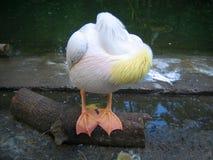 roligt sova för pelikan royaltyfria foton