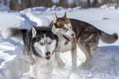 Roligt spela för hundkapplöpning i snö Två skrovliga hundkapplöpning kör och slåss lek royaltyfri foto