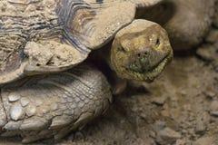 Roligt vända mot sköldpaddan Arkivfoton