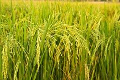 roślina ryż Zdjęcia Stock