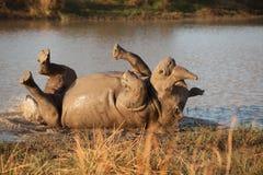 Roling Rhinos Royalty Free Stock Image