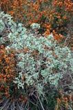 rośliny mędrzec Zdjęcia Royalty Free