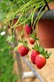 rośliny truskawka Obrazy Royalty Free