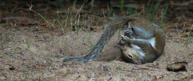 Rolka w piłki wiewiórce Zdjęcie Royalty Free