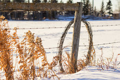 Roll of barbed wire leaning on a fence post. Tall brown plants and a roll of barbed wire leaning against a post in the winter Royalty Free Stock Photography