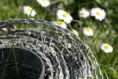 Roll of barbwire and daisy flowers Royalty Free Stock Images