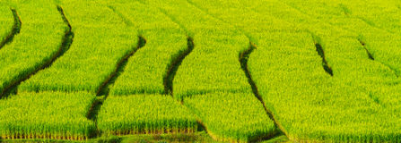 Roll of rice fields Stock Images