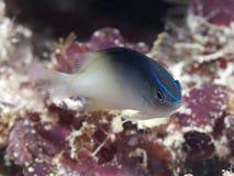 Rolland's demoiselle. In Bohol sea, Phlippines Islands Stock Image