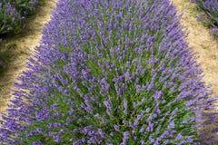 Rolle von blühenden Lavendelbüschen in einem Bauernhof - 2 stockbilder