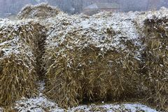 Rolled harvested hay. And snow Stock Images