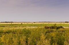 Rolled hay bales on the Saskatchewan prairie. Rolled bales of hay drying on the prairie by a railroad in Saskatchewan, Canada Royalty Free Stock Photo