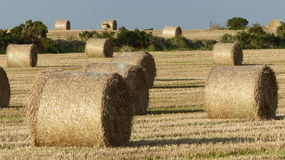 Rolled hay. Field full of rolled hay Royalty Free Stock Photography