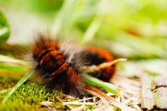 Rolled larva Royalty Free Stock Image