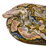 Rolled Royal Python, or Ball Python (Python regius), isolated wh Royalty Free Stock Photo