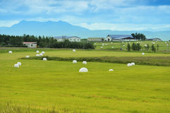 Rolled silage bales in the meadow. At Iceland Royalty Free Stock Photo