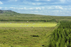 Rolled silage bales in the meadow. At Iceland Royalty Free Stock Image