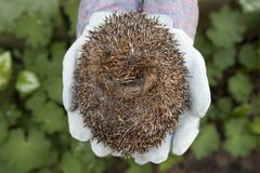 Rolled up hedgehog Stock Images