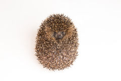 Rolled up hedgehog Stock Image