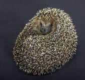 Rolled-up hedgehog in dark back Stock Images