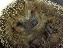 Rolled-up hedgehog portrait Stock Image
