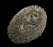 Rolled-up hedgehog portrait Royalty Free Stock Images