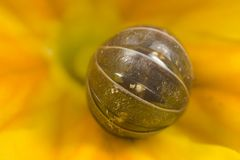 Rolled Up Pillbug On Flower Royalty Free Stock Photos
