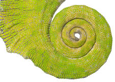 Rolled up tail of a Four-horned Chameleon Stock Images