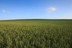 Rollendes grünes Weizenfeld mit freiem blauem Himmel lizenzfreies stockfoto