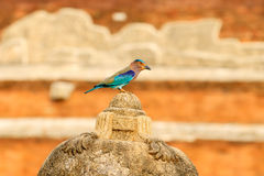 Roller sitting on the stone  with orange background. Birdwatching in Asia. Beautiful colour bird in the nature habitat. Detail of Royalty Free Stock Photography