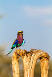 Roller on the tree. SweetWaters park. Kenya, Africa Royalty Free Stock Photo