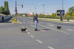 Rollerskater crossing the street. With two dogs on October 05, 2014 in Bucharest, Romania Royalty Free Stock Photography