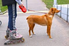 Rollerskating de la muchacha que camina el perro en el parque Imagenes de archivo